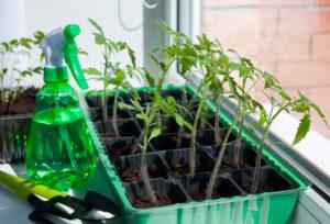 Tomato Seedlings Leaning Towards The Light