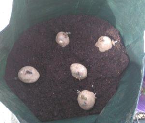 Potatoes in a potato bag