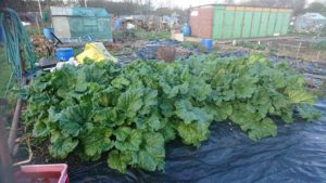 Early rhubarb ready to harvest