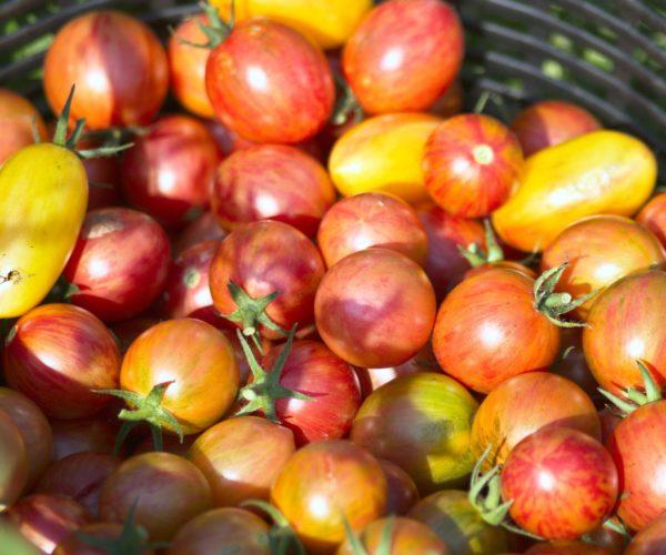 growing tomatoes image