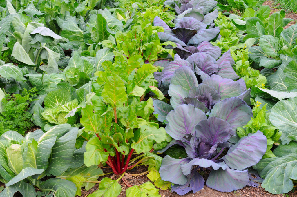 Interplanted vegetables