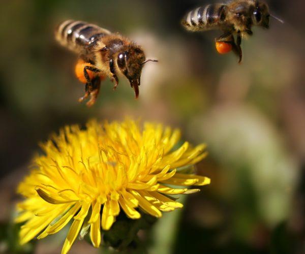 Bee landing on dandelion