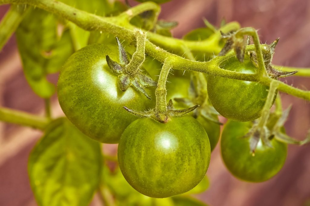 green tomatoes, waiting to ripen