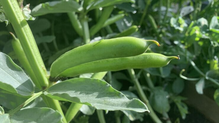 August – What To Do In The Vegetable Garden