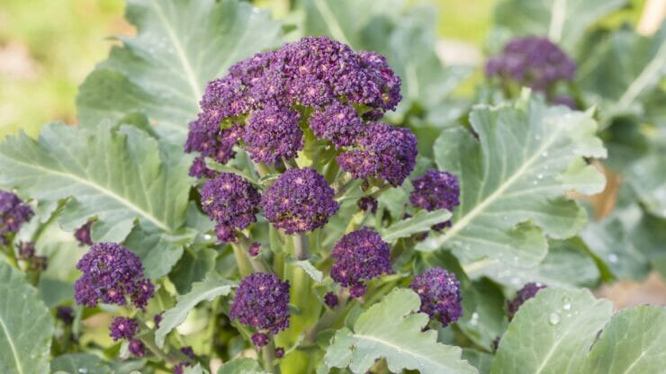 Sprouting Broccoli Growing Guide